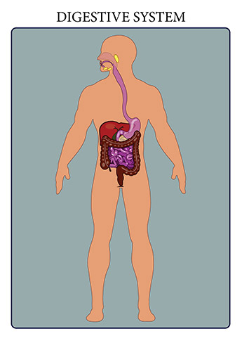 The human digestive system is the means by which tissues and organs receive nutrients to function. The system breaks down food, extracts nutrients from it, and converts these into energy.