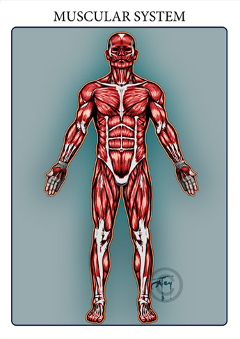The muscular system is responsible for the movement of the human body. Attached to the bones of the skeletal system are about 700 named muscles that make up roughly half of a person's body weight. Each of these muscles is a discrete organ constructed of skeletal muscle tissue, blood vessels, tendons, and nerves.