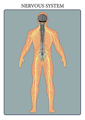 The nervous system consists of the brain, spinal cord, sensory organs, and all of the nerves that connect these organs with the rest of the body. Together, these organs are responsible for the control of the body and communication among its parts. The brain and spinal cord form the control center known as the central nervous system (CNS), where information is evaluated and decisions made.