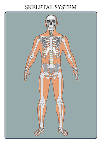 The skeletal system includes all of the bones and joints in the body. Each bone is a complex living organ that is made up of many cells, protein fibers, and minerals. The skeleton acts as a scaffold by providing support and protection for the soft tissues that make up the rest of the body. The skeletal system also provides attachment points for muscles to allow movements at the joints. New blood cells are produced by the red bone marrow inside of our bones.