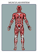 illustration of the human muscular system